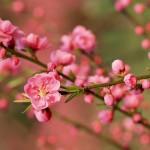Treo tranh phong thủy hoa đào đón năm mới an lành